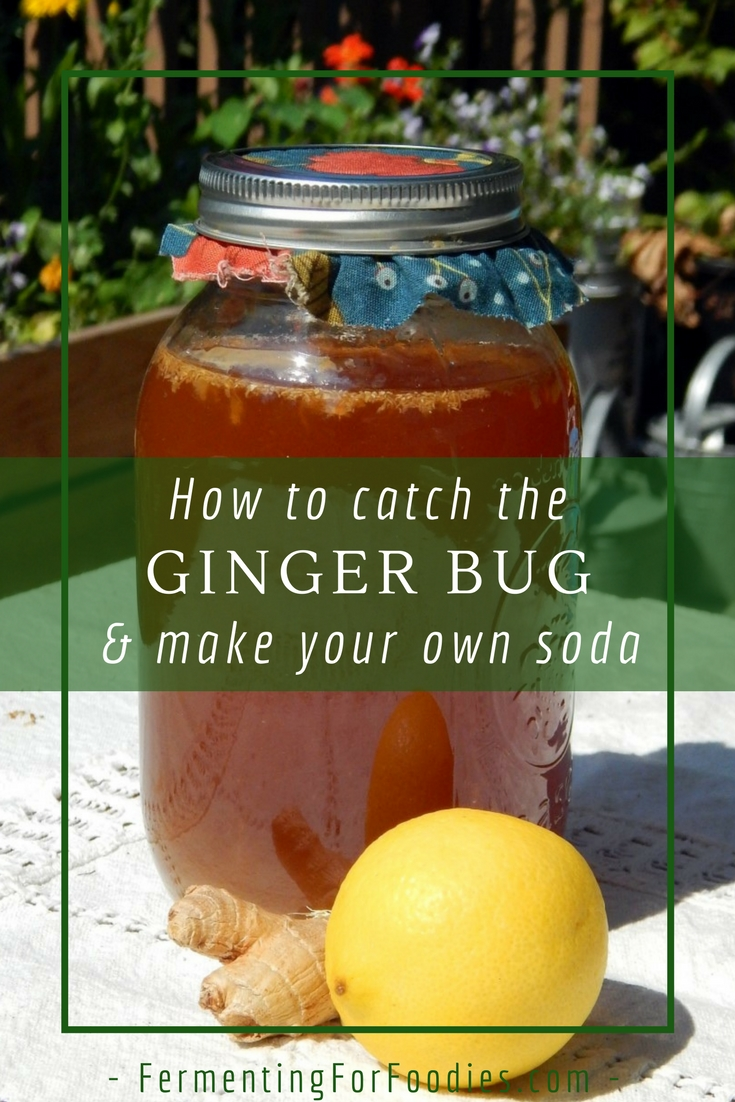 Catch the ginger bug starter to make homemade soda, ginger beer and ginger ale!