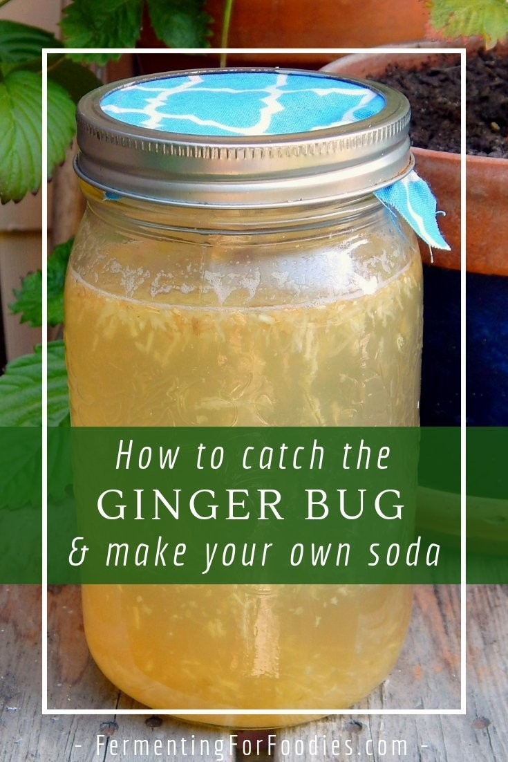 How to feed and maintain a ginger bug starter for homemade ginger ale