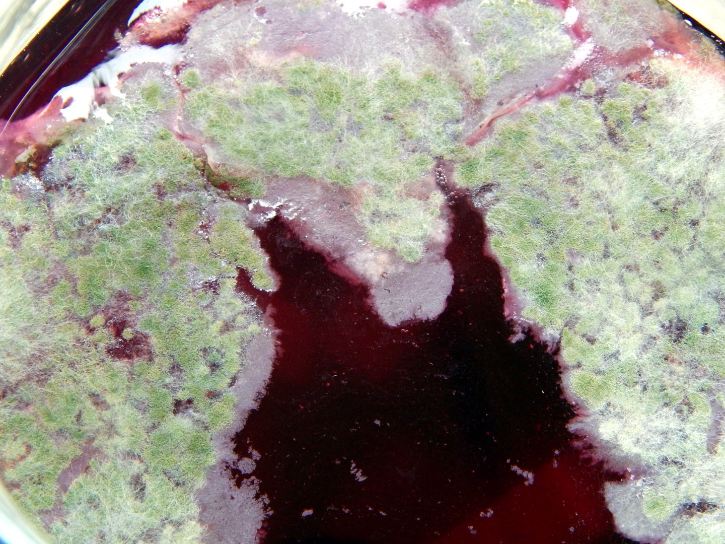 Mold on fermented beets