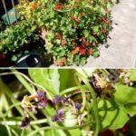 How to serve nasturtium seeds, leaves and flowers
