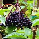 How to make a sugar-free or fermented elderberry sauce